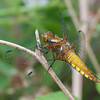 Broad-bodied Chaser, female, Libellula depressa 0046
