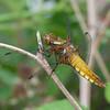 Broad-bodied Chaser, female, Libellula depressa 0045
