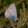 Silver-studded Blue, Plebeius argus 1551
