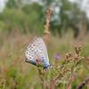 Silver-studded Blue, Plebeius argus 7022