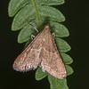 Rosy Tabby, Endotricha flammealis 1536