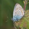 Silver-studded Blue, Plebeius argus 1569
