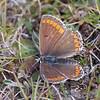 Brown Argus, Aricia agestis 1462