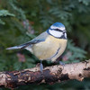 Blue Tit, Cyanistes caeruleus 7657