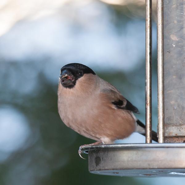 Bullfinch, female, Pyrrhula pyrrhula 7621