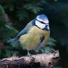 Blue Tit, Cyanistes caeruleus 7782