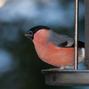Bullfinch, male, Pyrrhula pyrrhula 7623