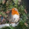 Robin, Erithacus rubecula 7625