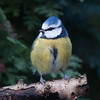 Blue Tit, Cyanistes caeruleus 7781