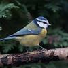 Blue Tit, Cyanistes caeruleus 7825