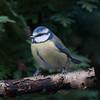 Blue Tit, Cyanistes caeruleus 7668