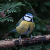 Blue Tit, Cyanistes caeruleus 7747