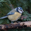 Blue Tit, Cyanistes caeruleus 7796