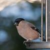 Bullfinch, female, Pyrrhula pyrrhula 7617