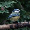 Blue Tit, Cyanistes caeruleus 7757