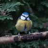 Blue Tit, Cyanistes caeruleus 7745
