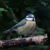 Blue Tit, Cyanistes caeruleus 7662