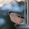 Bullfinch, female, Pyrrhula pyrrhula 7618