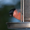 Bullfinch, male, Pyrrhula pyrrhula 7622
