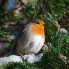Robin, Erithacus rubecula 7627