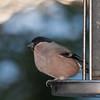 Bullfinch, female, Pyrrhula pyrrhula 7616