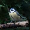 Blue Tit, Cyanistes caeruleus 7667
