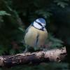Blue Tit, Cyanistes caeruleus 7663