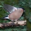 Bullfinch, female, Pyrrhula pyrrhula 7644
