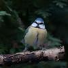 Blue Tit, Cyanistes caeruleus 7664