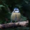 Blue Tit, Cyanistes caeruleus 7665