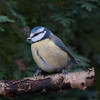 Blue Tit, Cyanistes caeruleus 7666