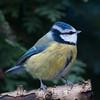 Blue Tit, Cyanistes caeruleus 7777
