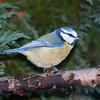 Blue Tit, Cyanistes caeruleus 7611