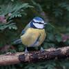 Blue Tit, Cyanistes caeruleus 7746