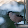 Bullfinch, female, Pyrrhula pyrrhula 7619