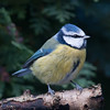 Blue Tit, Cyanistes caeruleus 7776