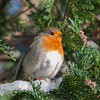 Robin, Erithacus rubecula 7626