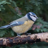 Blue Tit, Cyanistes caeruleus 7797