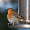 Robin, Erithacus rubecula 7624