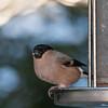 Bullfinch, female, Pyrrhula pyrrhula 7620