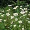 Oxeye Daisy, Chrysanthemum leucanthemum 6861
