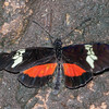 Heliconius hortense, Mexican Longwing 0305