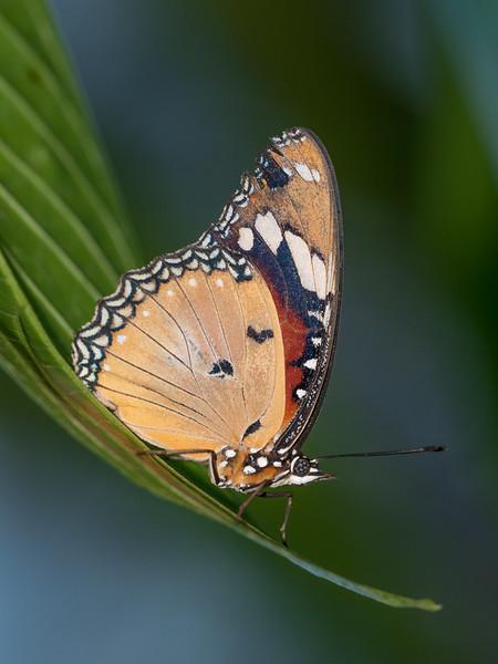 Danaus chrysippus, Plain Tiger 0267
