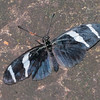 Heliconius antiochus, Antiochus Longwing  0299