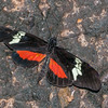 Heliconius hortense, Mexican Longwing 0302
