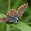 Brown Argus, Aricia agestis 8306