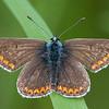 Brown Argus, Aricia agestis 8322
