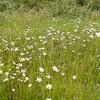 Ox-eye Daisies, Chrysanthemum leucanthemum 6705