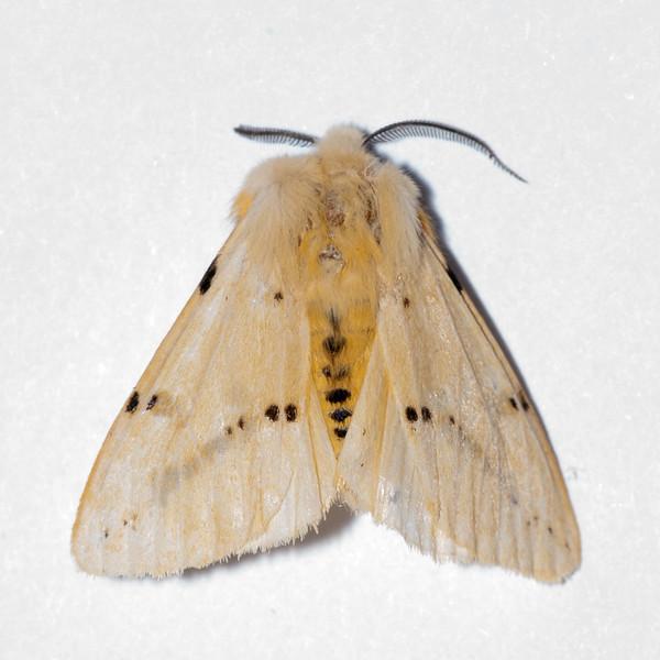 Buff Ermine, Spilosoma luteum 6692