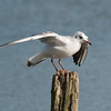 Black-headed Gull, Chroicocephalus ridibundus 6202